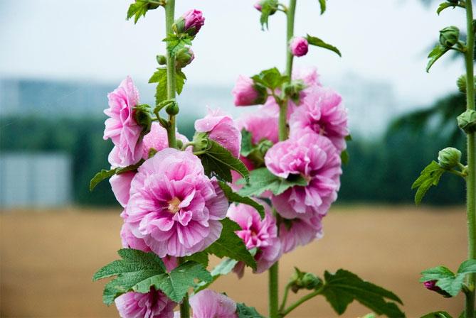 Как сажать шток розу семенами