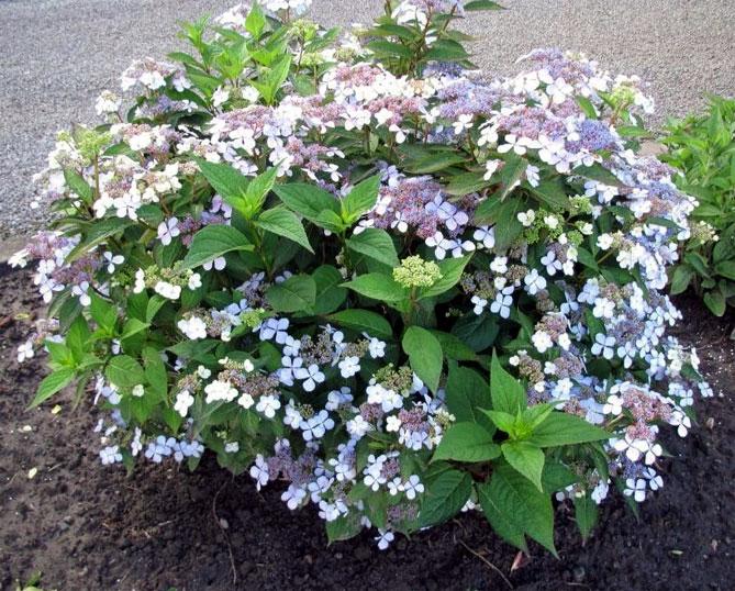 Гортензия садовая – посадка и уход в открытом грунте
