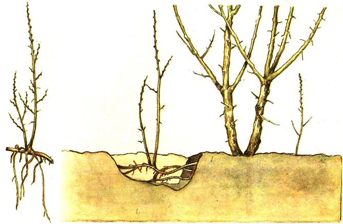 Пересадка спиреи серой осенью