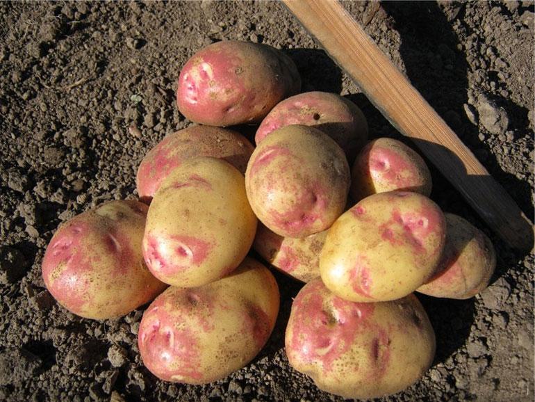 картошка сорт матрешка фото своеобразными