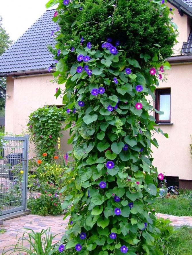 хорошо ней фото популярных вьющихся растений старается