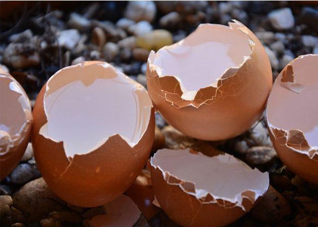 Народный метод удобрения яичная скорлупа