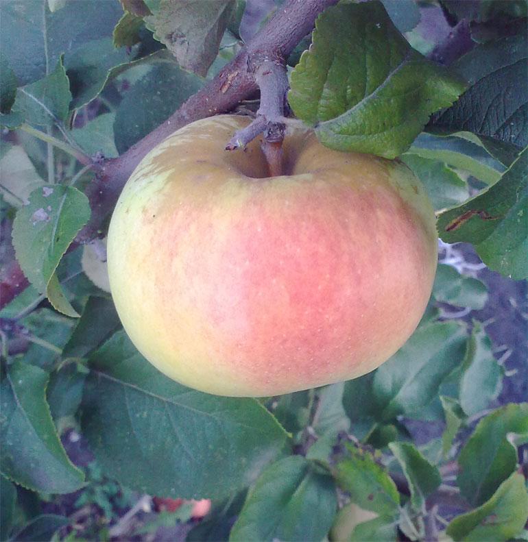 Яблоня Богатырь описание сорта преимущества и недостатки выращивание