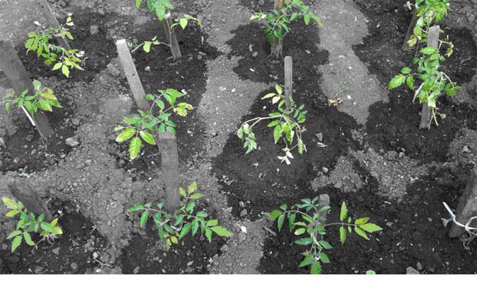 Удобрение из дрожжей для комнатных растений