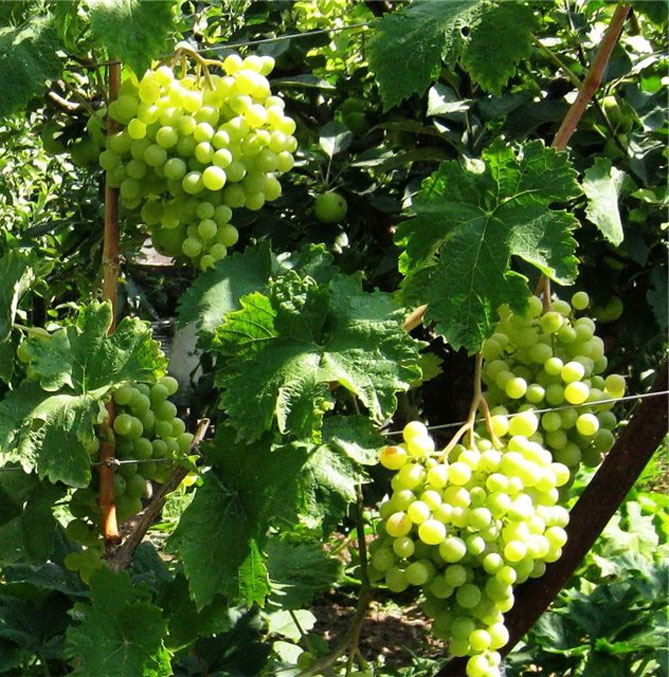 виноград восторг обрезка и нагрузка