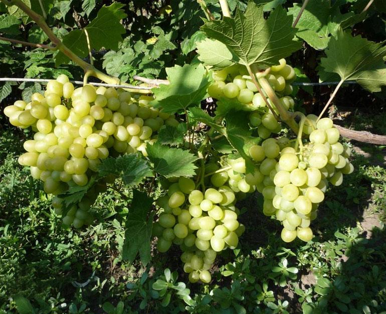 Описание и фото винограда сорта аркадия нервы