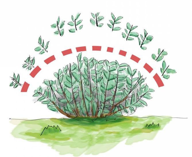 Как вырастить вереск на даче