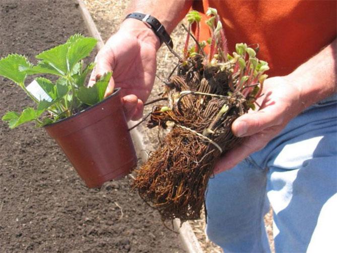 Клубника — советы садоводов, посадка, уход и лучшие сорта