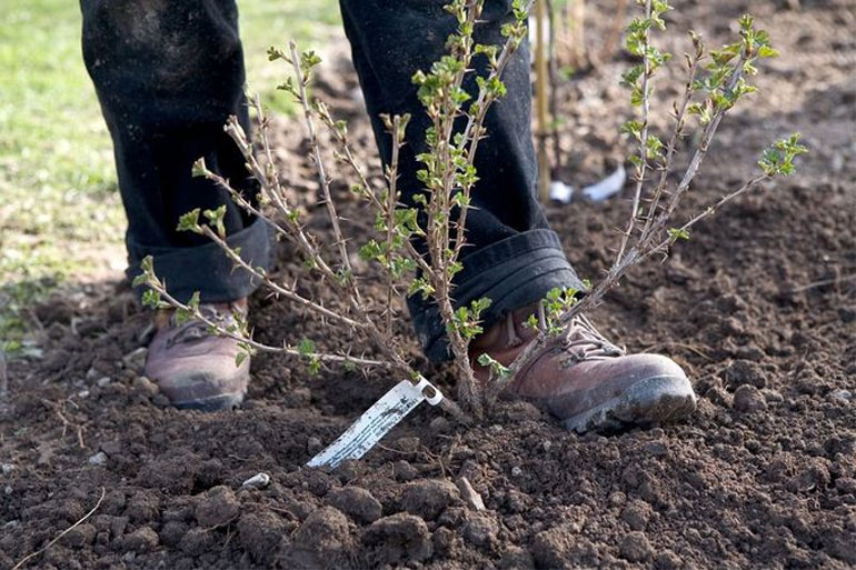 Пересадка крыжовника осенью на новое место: когда и как пересадить взрослый куст весной и осенью