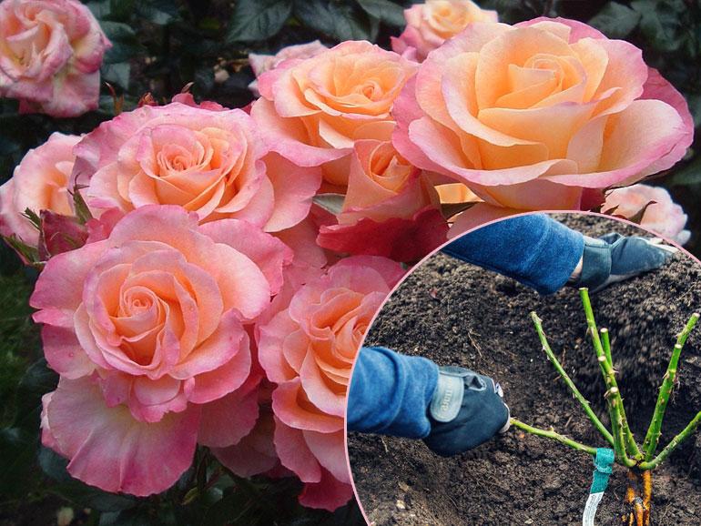 Как сажать розы осенью — посадка и уход за розами