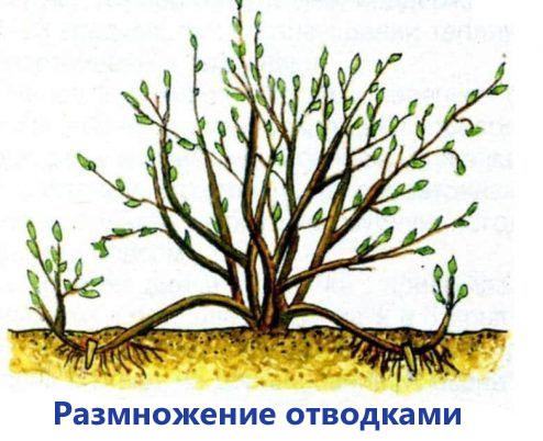 Красная смородина посадка и уход в открытом грунте осенью
