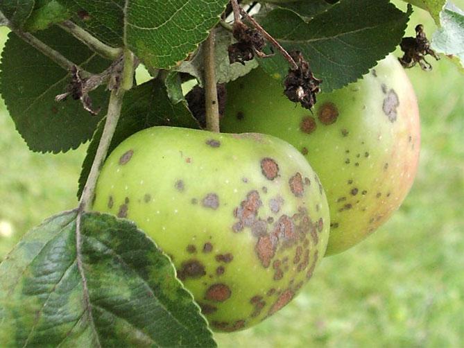 Заболевания яблок