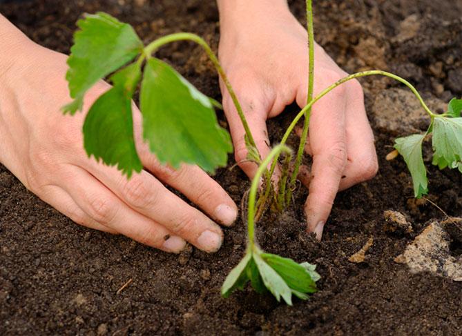 Как правильно высаживать клубнику в открытый грунт