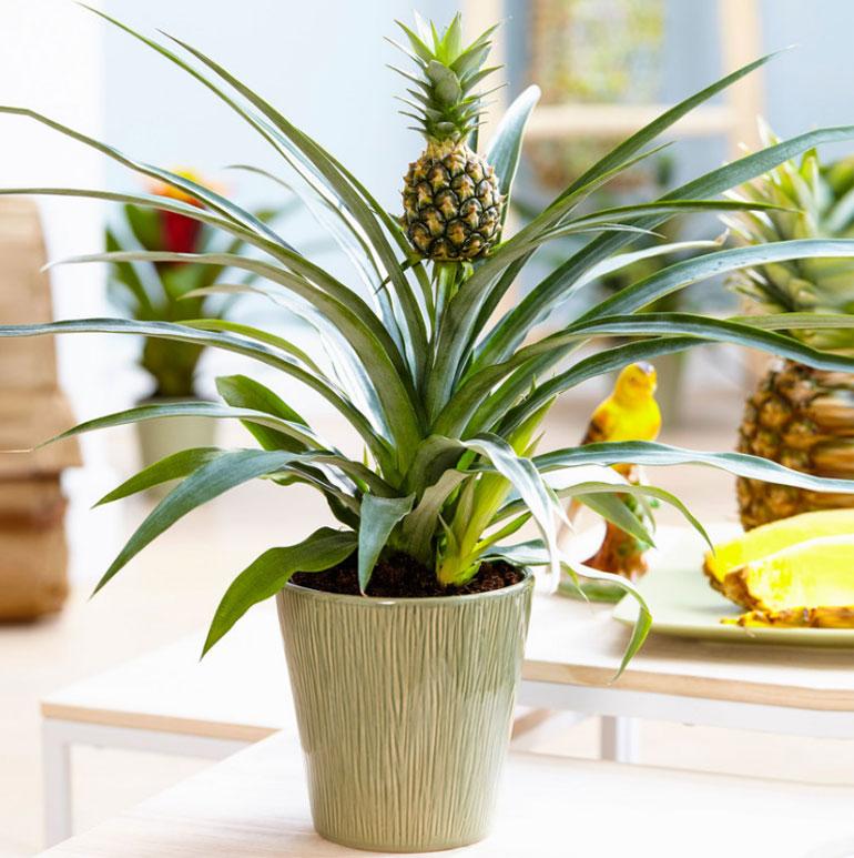 Ананасовая пальма в домашних условиях