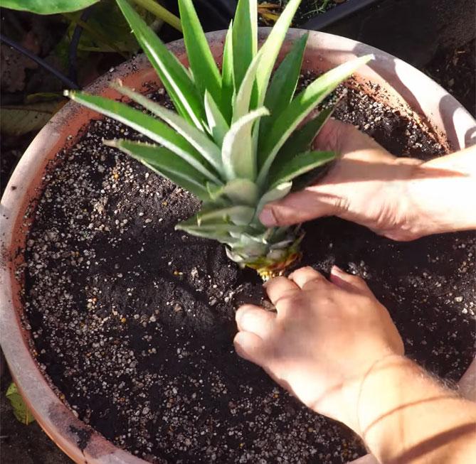 Выращивание ананасов в домашних условиях