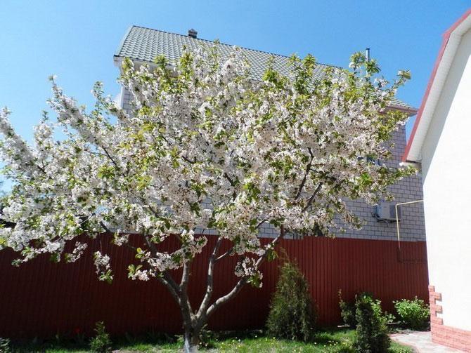 Когда сажать черешню — весной или осенью?