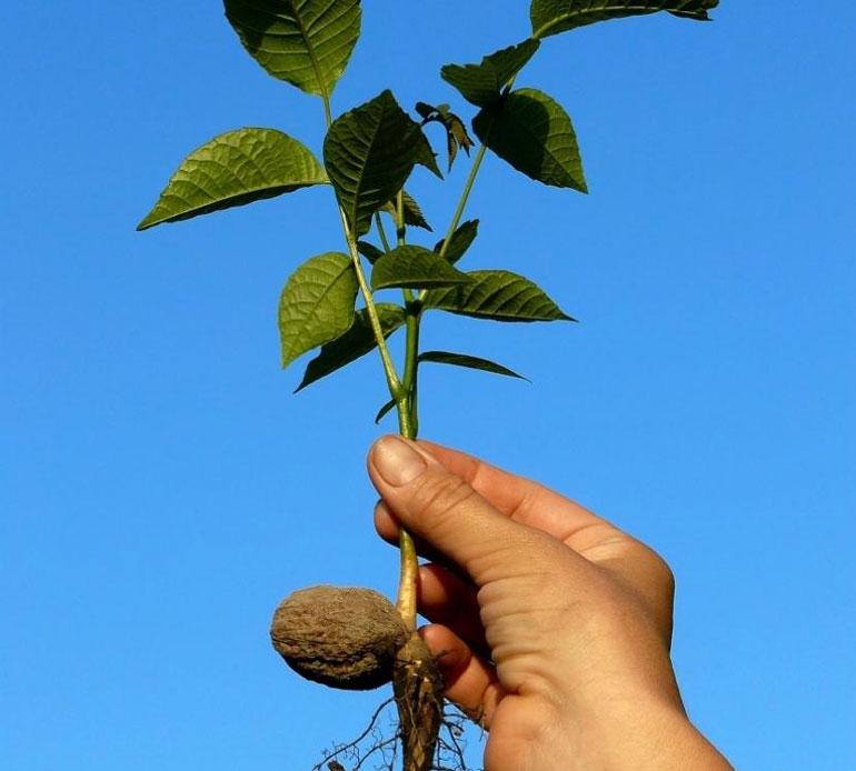 Как посадить грецкий орех в сибири