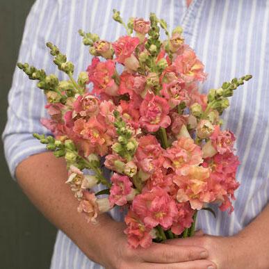 Выращивание цветка львиный зев (35 фото): посадка и уход в открытом грунте. Когда сеять семена? Как сажать антирринум на рассаду в домашних условиях?