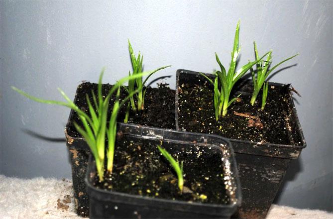 Чуфа- что за растение, полезные свойства - Орех Эксперт