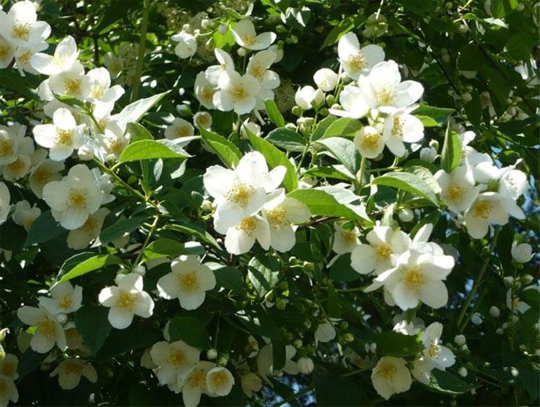 Чубушник венечный, жасмин: описание и способы выращивания