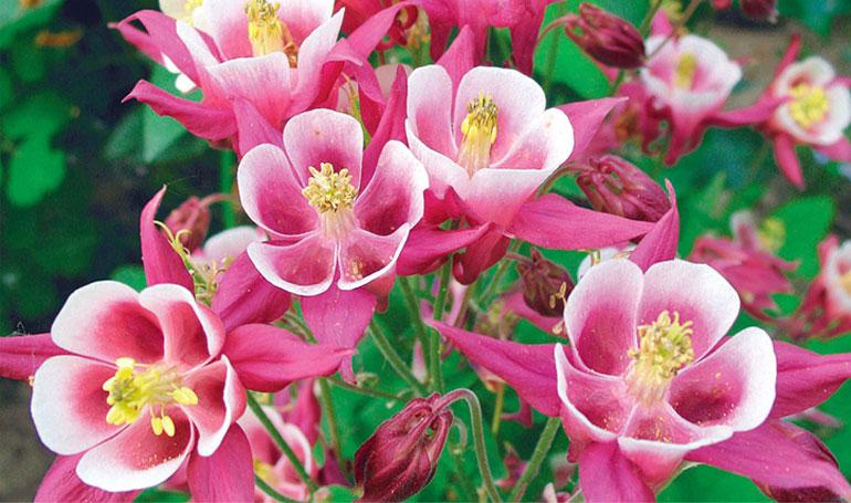 аквилегия крупноцветковая маккана посев семян