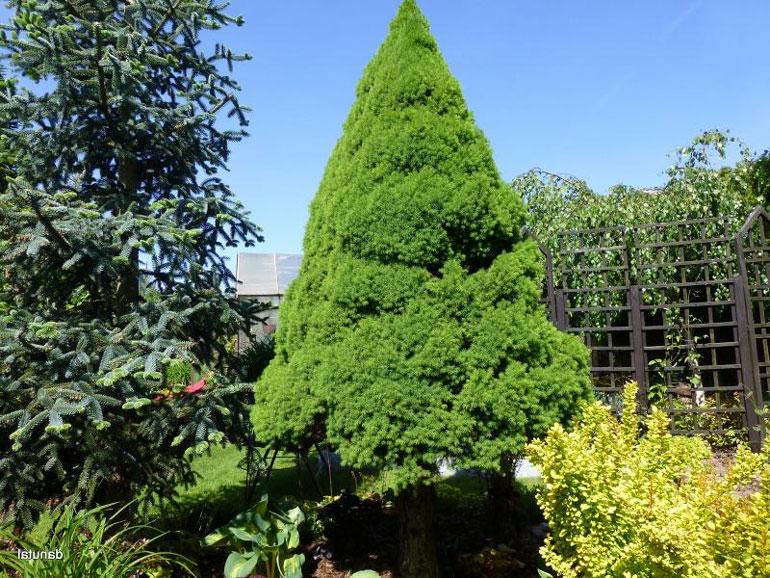 Ель канадская Коника ? как пересадить и ухаживать в саду