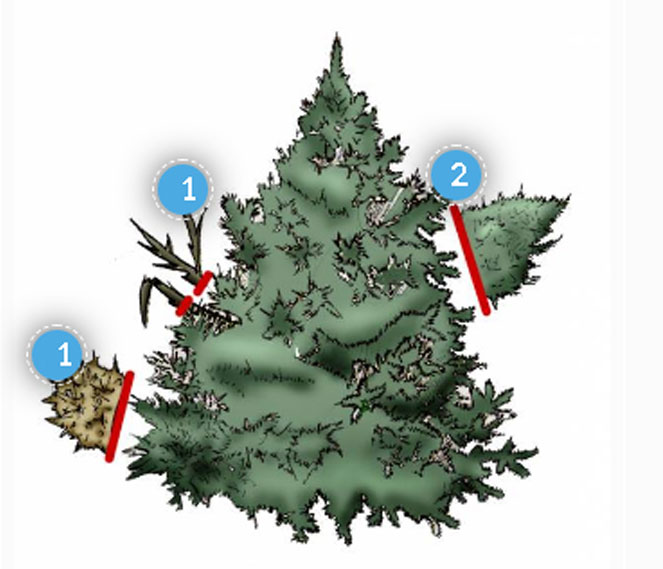 Ель канадская (сизая) Коника (conica)- посадка, уход за канадской, карликовой елью Коника