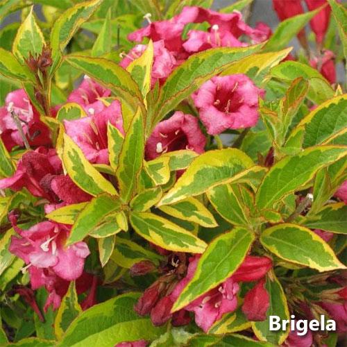 Вейгела – посадка и уход в открытом грунте, сорта, фото