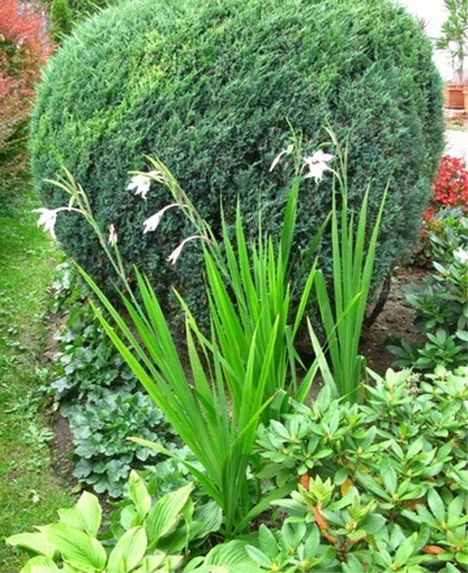 Ацидантера- выращивание и уход в открытом грунте, описание сортов цветка