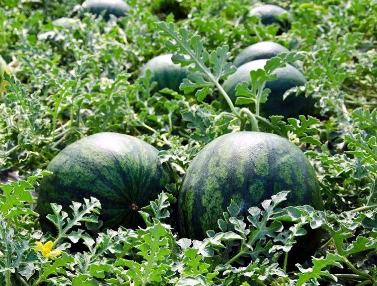 как сажать семена арбуза